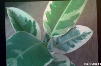 фикус пкстролистный, фикус эластана, фикус каучуконосный, комнатные растения видео, комнатные растения фото, опавшие листья, фикус, фикус уход