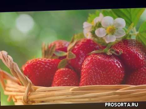 солнце, лето, ирина воловик, обработка клубники весной видео, удобрение клубника, клубника видео, подкормка весна, клубника выращивание