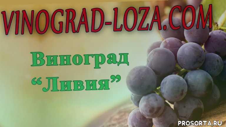 обрезка винограда сорта ливия, купить виноград ливия, виноград сорта ливия подробное описание фото отзывы, виноград ливия характеристика, сорт винограда ливия, виноград ливия описание сорта фото отзывы