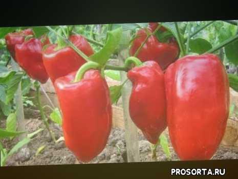 урожайный перец, самые урожайные перцы, красный перец, перец