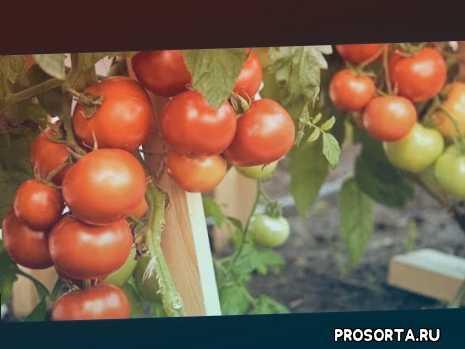 томаты в теплице, где купить семена, семена томатов, новый сезон, сезон, собираем урожай, агрофирма партнер, грядки в порядке