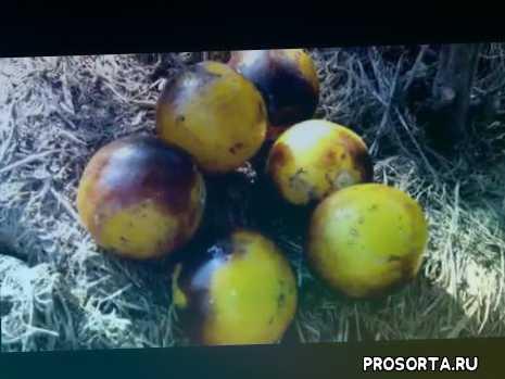 помидоры с антоцианом, томат лесной шмель, томат синий шмель, томат синий лес шмелей, #томатнаконсервацию, томат на консервацию, сорта томатов для открытого грунта, #сортатоматовдляоткрытогогрунта