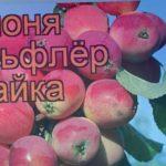 Яблоня обыкновенная Бельфлёр китайка (malus) ? обзор: как сажать, саженцы яблони Бельфлёр китайка