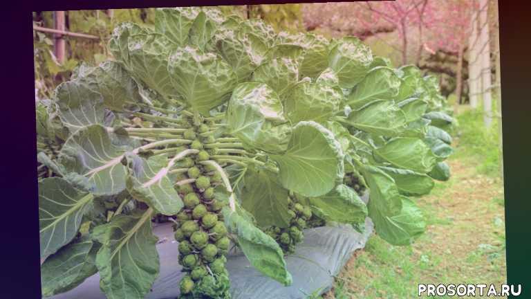 брюссельская капуста выращивание в открытом грунте, брюсельская капуста, блюда с брюссельской капустой, брюссельская капуста в нидерландах, возделывание брюссельской капусты, как вырастить брюссельскую капусту, как посадить брюссельскую капусту, капуста брюсельская выращивание