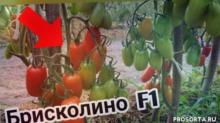 алена шатковская, помидоры, гибрид брисколино, брисколино, томат брисколино, томаты, томат