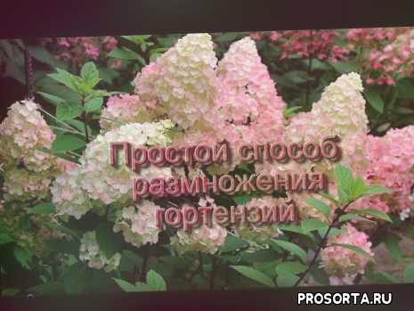 купить гортензию, гортензия весной, одревеневшие черенки, древовидная гортензия, метельчатая гортензия, обрезка гортензий, как размножить гортензию, весеннее черенкование гортензий