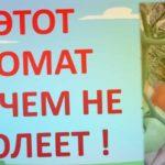 100% УСТОЙЧИВЫЙ К БОЛЕЗНЯМ ТОМАТ БЕЗ ФИТОФТОРЫ. Какой томат посадить в теплице?