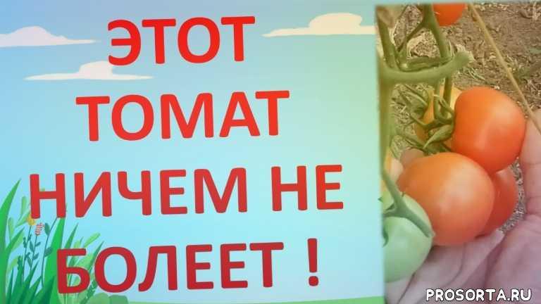 какие томаты сажать в теплице, болезни томатов, пятна на листьях томата, как выращивать томаты, какие томаты посадить, устойчивый к фитофторе томат, роман буров, фитофторы не будет