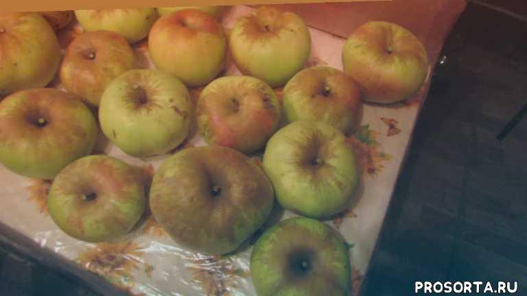 настойка, кальвадос, яблоки, сорта яблонь, перепёлкино
