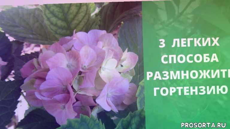 черенкование гортезии, виды гортензий, обрезка гортензий, уход за гортензиями, размножение гортензии, садовая гортензия, метельчатая гортензия, древовидная гортензия
