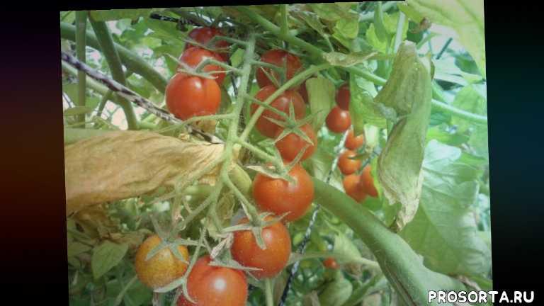 открытый грунт, сад, теплица, дача, огород, помидоры уход, помидоры в теплице, урожай