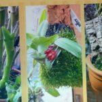 Орхидеи. Каттлея уход, полив и содержание в домашних условиях. Моих?