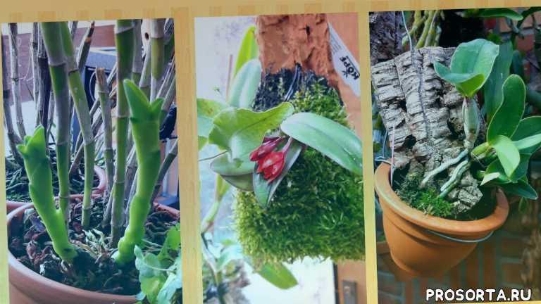 как нарастить корни., масдеваллия уход, венерин башмачок, ванда, бульбофиллум, целогина кристата, хизис, фаленопсис