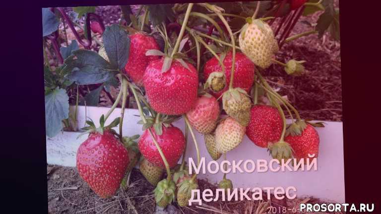 московский деликатес, ремонтантная клубника, сорт клубники, клубника московский деликатес