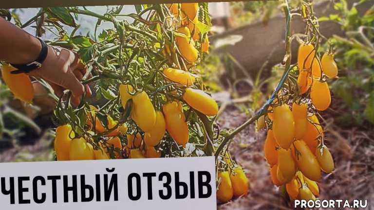 выращивание помидоров, выращивание томатов, помидор банановые ноги отзывы, помидор банановые ноги, помидоры, как вырастить томаты, банановые ноги как вырастить, банановые ноги томат отзывы