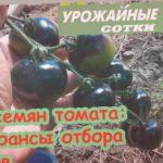 ВСЕ правила сбора семян томата. Свои семена томата - это просто!