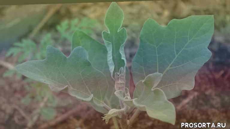 умхоз, умное хозяйство, баклажан во время цветения, баклажаны уход и выращивание, баклажаны уход и подкормка, баклажаны уход, уход за баклажанами, выращивание баклажанов