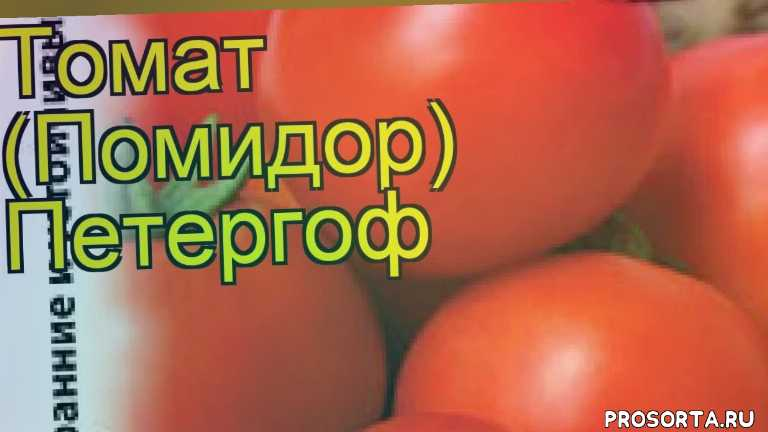 томат петергоф какие растения сажают рядом, томат петергоф посадка и уход, томат петергоф уход, томат петергоф посадка, томат петергоф отзывы, где купить семена томат петергоф, купить семена томата петергоф, семена томат петергоф