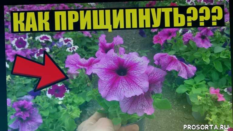 рассадный бизнес, цветочный бизнес, тепличный бизнес, рассада, теплица, огород, сад, формировка петунии