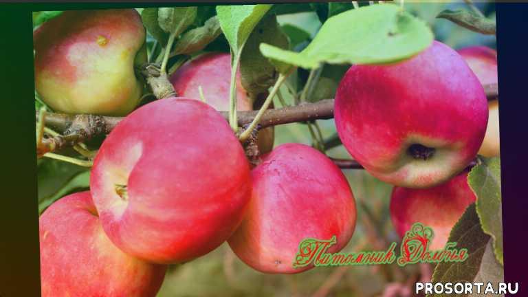родниковое, мантет, летнее полосатое, лучшие сорта яблонь, сорта яблонь, яблоня