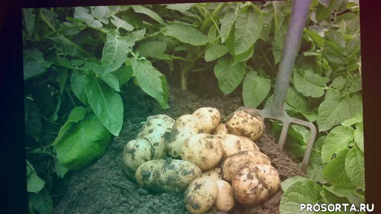 сорта картофеля характеристики, какой сорт картофеля, семенной картофель сорта, характеристика сортов картофеля, сорта картофеля фото, описание сортов картофеля, сорта картофеля беларусь, сорта картофеля самохваловичи