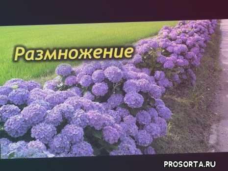мои цветы, домашние растения, комнатные цветы, способы размножения гортензии, размножение семенами, деление куста гортензии, укоренение в воде, #черенкование