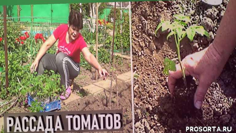 выращивание помидоров, любимая усадьба, как сажать помидоры, как выращивать томаты, выращивание помидор, томаты в теплице, овощи, дача