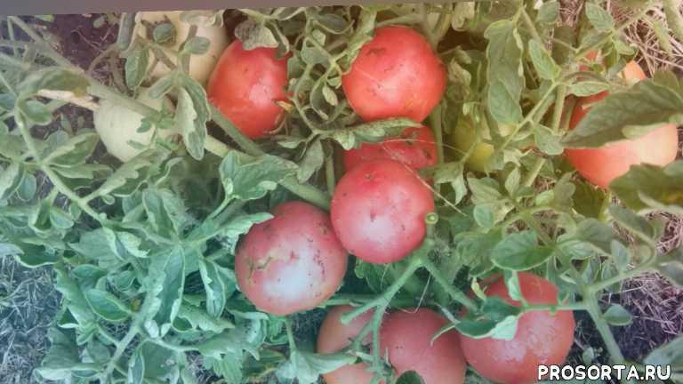 ранеспелый томат, помидор алтайский сюрприз, томат алтайский сюрприз, #томаталтайскийсюрприз, сорта томатов для открытого грунта, #сортатоматовдляоткрытогогрунта, какие помидоры буду сажать обязательно, самые урожайные сорта томатов