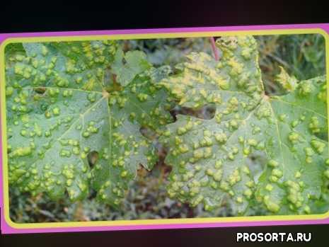 сорта виноградов фото, виноград весной, виноград описание, прививка винограда, купить виноград, болезни винограда, виноград обрезка, виноград +на зиму