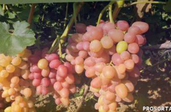 сорт винограда, саженцы винограда, урожай винограда, виноградник, виноград