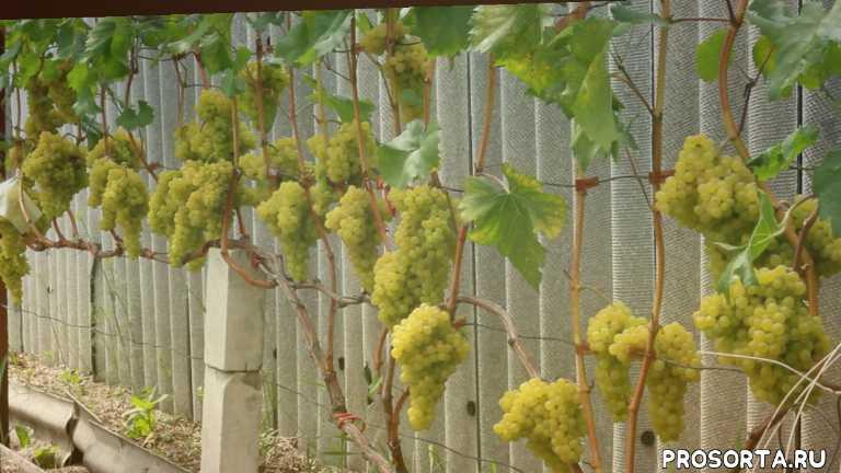 сорт винограда, г- 342. венгерский., виноград в беларуси, поченко виноград, северный виноград, северное виноградарство, кишмиш гибрид -342.