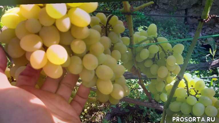 не укрывной виноград, виноград для арки, олег занединов, устойчивый виноград, виноград, августин, плевен 25-20