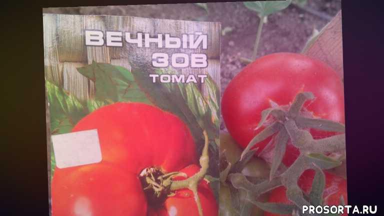 ольга чернова., сорт вечный зов, томаты, сад огород