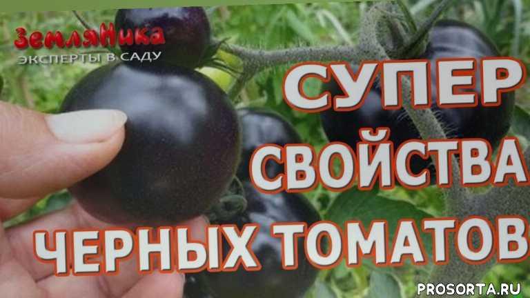 семена почтой, купить семена, seedspost.ru, семена черных томатов, купить семена томатов, семена томатов, школа огородников, земляника эксперты в саду