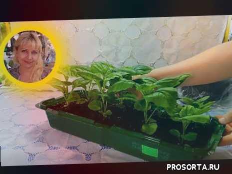 сеянцы, посев, сеять, подкормка, удобрение, сколько, подкормить, как