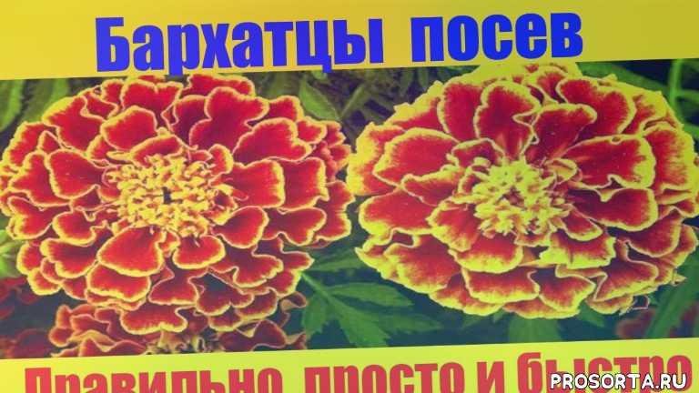 рассада бархатцев, бархатцы выращивание из семян, выращивание цветов, цветы, выращивание бархатцев, рассада, сеем семена бархатцов, чернобровцы