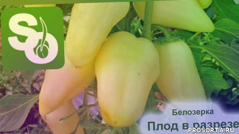 перец белозерка посадка, перец белозерка описание сорта, перец белозерка видео, перец белозерка отзывы, как прорастить семена перца, как собирать семена перца, проращивание семян перца, купить семена перца
