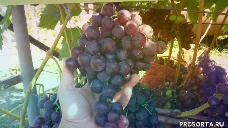виноград рошфор, рошфор, виноград