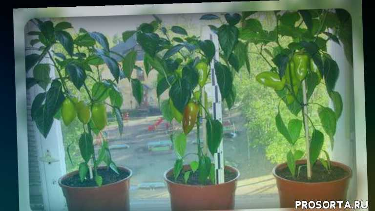 огородникам, огород на подоконнике, овощи, земля для перца дома, уход за перцем дома, сладкий перец, как вырастить перец дома, перец на балконе