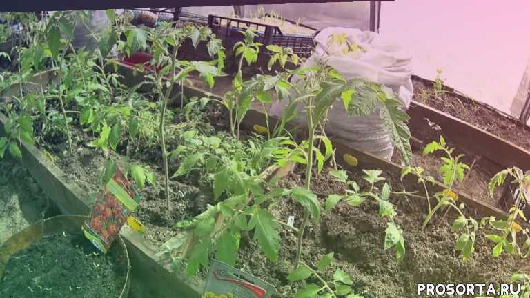 посадка в грунт, важно, способ посадки, уход за рассадой, сорта томатов, как вырастить томаты, теплица, посадка рассады в теплицу