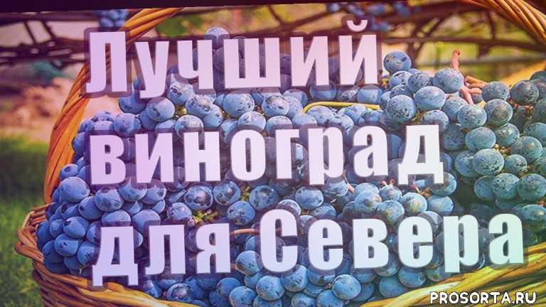 лучший виноград для севера, северный виноград, черенкование винограда, дважды отец димитрий, виноградарь, как вырастить большой урожай винограда, подрезка винограда, выращивание винограда в открытом грунте на севере