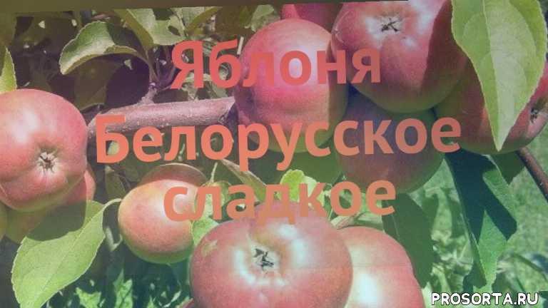саженцы, саженцы яблони, лиственные деревья, деревья, обыкновенная яблоня белорусское сладкое обзор, обыкновенная яблоня, обыкновенная яблоня белорусское сладкое, белорусское сладкое обзор