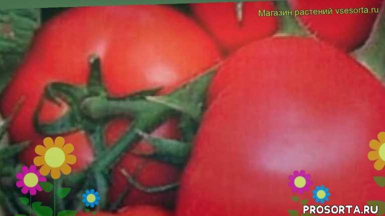 томат обыкновенный важная персона посадка, томат обыкновенный важная персона отзывы, где купить семена томат обыкновенный важная персона, купить семена томата важная персона, семена томат обыкновенный важная персона, видео томат обыкновенный важная персона, томат обыкновенный важная персона описание характеристик, краткий обзор томат обыкновенный важная персона
