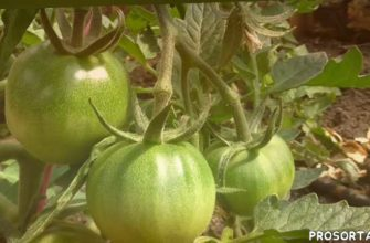 лпх арзамас, семена томатов, уход за помидорами, как переопыляются помидоры, переопыление томатов, сорта томатов, томаты, помидоры