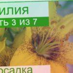 ? Посадка лилий в саду: как и когда сажать лилии весной и осенью