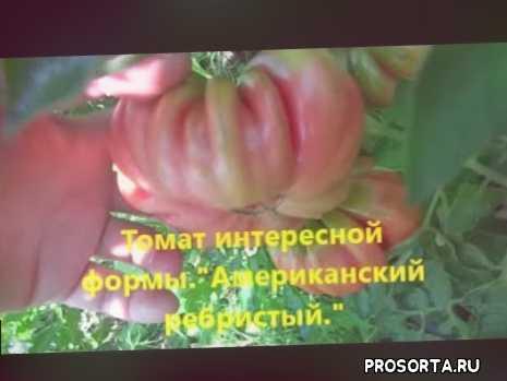 выращивание, ребристый, американский, интересной формы, томат, канал чистое поле