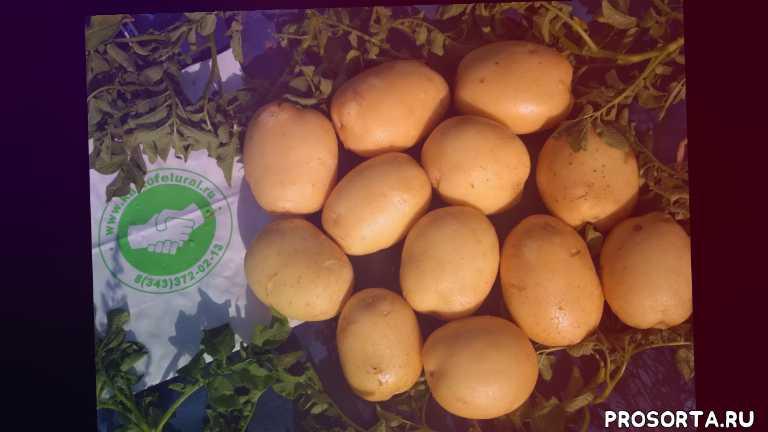 организация доставки картофеля из лимана харабали астрахани, молодой картофель урожай 2020 года, молодой картофель с юга россии, картофель на поливе в астраханской области, купить картофель в астраханеской области лимане харабали, аризона, сорт картофеля ривьера