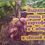 Выращивание очень раннего картофеля в Сибири