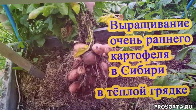ведро картофеля с куста, канал удачный способ с марией, сорта картофеля, окучивание картофеля, посадка картофеля, молодой картофель, картофель, выращивание раннего урожая молодого картофеля в сибире