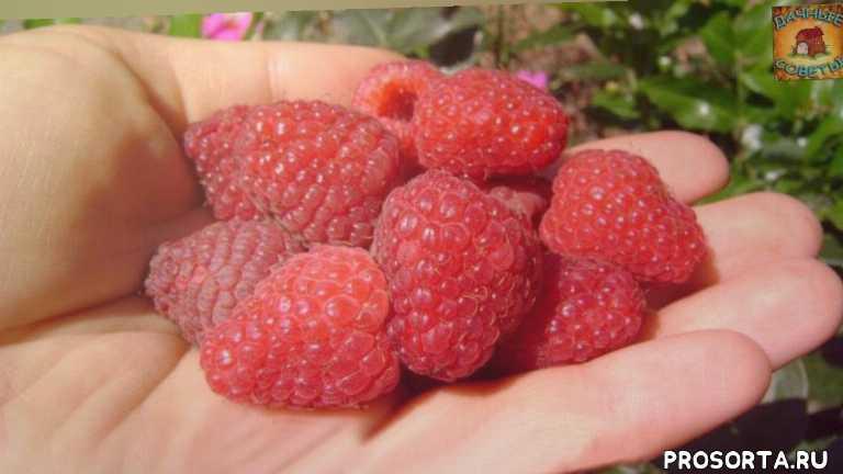 описание сортов малины, хорошая малина, сорта, урожайные, огород, сад, уход, ведро малины с одного куста